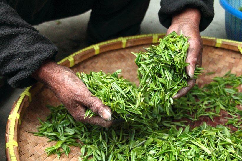 Zeleni čaj priprema